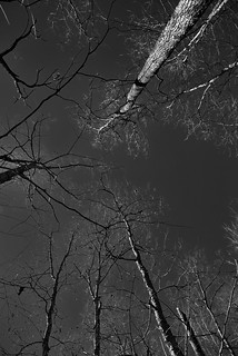 Trees All Around and Blue Skies Above (Black & White)