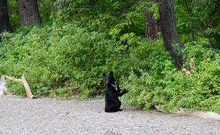 Black bear in wild
