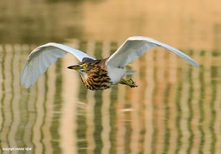 Birds of Pakistan 01