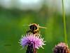 Biene (tobie_jo) Tags: biene honig honigbiene outdoor bee flower blume ansehen schauen spionieren neugierig fühlen blütenstaub sammeln wiese gras grün rosa knolle