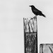 Lone Crow | October 2017