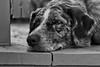 Sigh (cogdogblog) Tags: dog bw felix