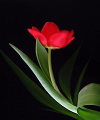 Drama Queen (Smiffy'37) Tags: tulip red blackbackground drama flower portrait fineart