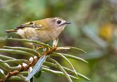 Goldcrest. (Jez Nunn) Tags: goldcrestnikonnaturewildlifebirds