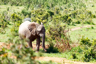 Baby Elephant running between the bushes