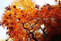 aramiu (Daria_della_Noce) Tags: colours colori culori toamna autumn autunno ottobre octombrie octomber sonynexf3k sonynexf3 romania bucuresti bucarest red rosu rosso portocaliu aramiu arancione copac albero tree koelreuteriapaniculata
