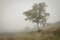 Solitary (Glenn D Reay) Tags: silverbirch tree solitary fog foggy wet muted atmosphere atmospheric loner simple pentaxart pentax k30 sigma1770hsm glennreay