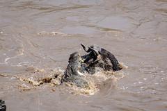 Mara Safari-9913.jpg (MudflapDC) Tags: africa kill safari marariver bite fight nilecrocodile vacation mara porinilioncamp plains kenya gamewatchers maasaimara greatmigration wildebeast crossing wilderness masai