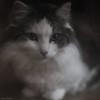 In a soft mood... (hajlana) Tags: softkatt gato suave littledoglaughednoiret