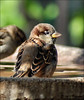 My Best Side (John Neziol) Tags: jrneziolphotography nikon nikondslr nikoncamera nikond80 nature naturallight portrait outdoor animal animalphotography brantford beautiful bokeh bright bird housesparrow sparrow wings wildlife water birdbath birds garden closeup cute feathers feather beak