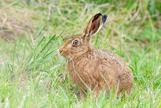 JWL9325  Brown Hare..
