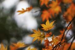 Autumn maple (pszcz9) Tags: przyroda nature natura arboretum rogów liść leaf klon maple jesień autumn fall zbliżenie closeup samyang bokeh sony a77