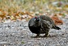 _DSC8229 (barrypphotos) Tags: spruce grouse peter lougheed provincal park mountains fall