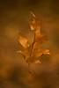 Autumnleaf (gitte123) Tags: atumn leaf nature
