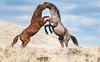 Wild Horses (Jami Bollschweiler Photography) Tags: wild horse horses onaqui herd utah wildlife photography mare stallions fighting baby foal filly sunset running sleeping laying down old man retirement buddy