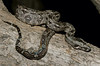 Boa Constrictor (cowyeow) Tags: snake snakes sonora mexico mexicanreptile baby boa herpetology mexicansnake snakehunting reptile reptiles herp herps herping constrictor imperator latinamerica nature wildlife