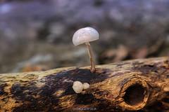 Mushrooms (copelius38) Tags: mushrooms setas bosque forest macro otoño autumn