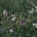 Patch of white red campion. East Skomer. May 1978