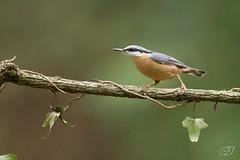 Sittelle torchepot (Tifaeris) Tags: ariège domainedesoiseaux eurasiannuthatch mazères passériformes sittaeuropaea sittelletorchepot sittidés bird oiseau
