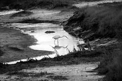 Great egret (Ardea Alba) - Près salés, Arès, France (pas le matin) Tags: egret greategret grandeaigrette bird oiseau prèssalés arès aquitaine landscape travel voyage france europe europa eau water nb bw noiretblanc blackandwhite monochrome 7d canon7d canoneos7d eos7d