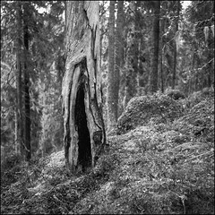 Ancient Forest - Ultra 100 exp* (magnus.joensson) Tags: sweden swedish forest tree småland norrakvill blackandwhite monochrome 6x6 ultra 100 yellow filter rolleiflex f35 medium format selfdevelop stand 1100 1h epson v800 scan