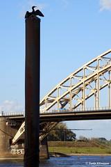 Cormorant (Ineke Klaassen) Tags: view cormorant aalscholver bird bridge bridges nijmegen gelderland geldersestreken waalbrug waalkade sony sonyimages sonya6000 sonyalpha sonyalpha6000 sonyilce6000 ilce mirrorless 700views 15faves 1025fav 1000views