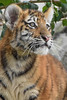 Amur Tiger Cub (stephanieswayne1) Tags: amur tiger cub female head face eyes looking up close personal cute wild animal big cat columbus zoo feline stripes endangered beautiful whiskers nose mouth