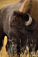 Basking In The Sun (Del.Higgins) Tags: bison buffalo yellowstone national park wyoming montana olympus omd em1 rut rutt breading sunshine