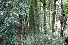 Coachwood (Ceratopetalum apetalum) (Poytr) Tags: coachwood ceratopetalumapetalum ceratopetalum cunoniaceae dorrigonsw dorrigonationalpark worldheritagesite subtropicalarf subtropicalrainforest forest tree rainforest arfp nswrfp qrfp wood