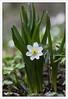 Wild Anemone (Francis =Photography=) Tags: anémonesauvage anemone fleurs flowers fleur plante plantae wildanemone anémonedesforêts forestanemone