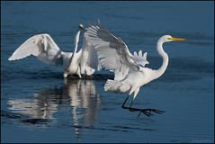 Egrets @ Blackwater NWR (Nikographer [Jon]) Tags: greategrets 20171021d500096409 nikon d500 oct october fall 2017 bird birds