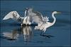 Egrets @ Blackwater NWR (Nikographer [Jon]) Tags: greategrets 20171021d500096409 nikon d500 oct october fall 2017 bird birds