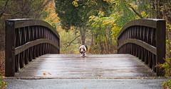 Basset on a Bridge. (PebblePicJay) Tags: dog pets canon bridge wood tree xsi hound rain forest nature fall autumn perro animal