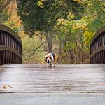 Basset on a Bridge. thumbnail