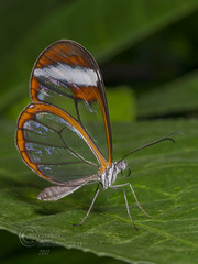 _IMG2055  Glasswing Butterfly (Pete.L .Hawkins Photography) Tags: glasswing butterfly greta oto chester zoo tropical clearwings petehawkins petelhawkinsphotography petelhawkins petehawkinsphotography pentax 100mm macro pentaxpictures pentaxk1 fantasticnature fabulousnature incrediblenature naturephoto wildlifephoto wildlifephotographer naturesfinest unusualcreature naturewatcher insect invertebrate bug 6legs compound eyes creepy crawly uglybug bugeyes fly wings eye veins flyingbug flying