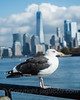 Seagull on the Hudson River, Liberty State Park, New Jersey (jag9889) Tags: 1wtc jag9889 usa railing libertystatepark waterway newjersey outdoor hudsonriver 20171102 2017 ellisisland lowermanhattan newyorkcity cloud hudsoncounty newyork sky manhattan seagull skyline jerseycity building 1776 285fultonstreet architecture freedomtower gardenstate house immigration lsp nj ny nyc newyorkharbor oneworldtradecenter park river skyscraper unitedstates unitedstatesofamerica wtc water worldtradecenter us bird waterbird