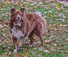 Bright Eyed Shizandra (One Day Of Sun -- It's So Lovely!!!) Tags: ddc smooth 2196 shizandra dog redbordercollie female