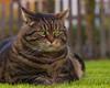 Why does everybody get treats and I don't ?!! (FocusPocus Photography) Tags: cleo katze cat chat gato tier animal haustier pet rasen lawn grass gras garten garden mürrisch grumpy