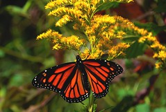 Monarch (Version 1) (Trains & Trails) Tags: monarch insect butterfly flower wildflower goldenrod plant fall autumn september yellow colorful pennsylvania fayettecounty nature outdoors