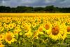 ob2015-7718.jpg (KeithCrabtree1) Tags: sunflowers redoak sunrise park oldbisonranch clouds