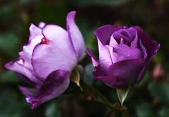 DSC_8525 (PeaTJay) Tags: nikond750 sigma reading lowerearley berkshire macro micro closeups gardens outdoors nature flora fauna plants flowers rose roses rosebuds