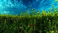 einsames rot.... (st.weber71) Tags: nikon nrw niederrhein natur raps mohnblume farben feld d800 tamron outdoor pflanzen bunt blumen himmel wolken art deutschland germany gräser landschaft landscape