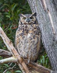 Great Horned Owl (X77_9458-1) (Eric SF) Tags: greathornedowl owl coyotehillsregionalpark fremont california