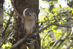 Red-shouldered Hawk (DFChurch) Tags: naples florida corkscrew swamp sanctuary nature animal bird wild wildlife redshouldered hawk buteolineatus