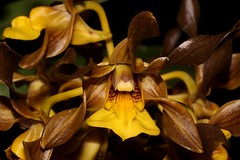 Cepobaculum trilamellatum (andreas lambrianides) Tags: cepobaculumtrilamellatum orchidaceae dendrobiumtrilamellatum largeteatreeorchid australianflora australiannativeplants australianrainforests australianrainforestplants australianorchids australianrainforestorchids brownflowers yellowflowers arfp qldrfp ntrfp arfflowers lithophyte epiphyte