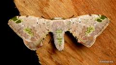 Silkworm Moth, Anticla antica or flavaria? Bombycidae (Ecuador Megadiverso) Tags: amazon andreaskay apatelodidae bombycidae ecuador moth rainforest silkwormmoth tamanduareservaflores anticlaantica