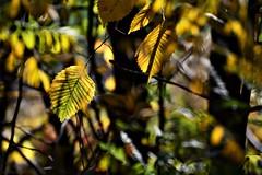 In the Depths of the Forest (nagyistvan8) Tags: nagyistván túrkeve magyarország magyar hungary nagyistvan8 természet nature háttérkép background colors sárga barna kék szürke zöld green grey blue brown yellow fekete black ősz autumn növény plant ngc fény light blur bokeh bokehlicious árnyék shadow levél leaf leaves káosz chaos 2017 nikon