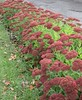 ** Les sedum ** (Impatience_1 (peu...ou moins présente...)) Tags: sedum fleur flower platebande automne fall autumn m impatience saveearth supershot coth sunrays5 coth5 abigfave fantasticnature alittlebeauty