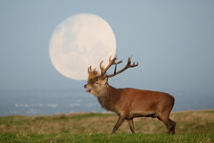 Red Deer Stag & Moon (Terry Angus) Tags: deer reddeer stag rut
