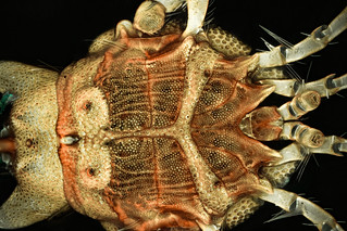 Water Mite - Body